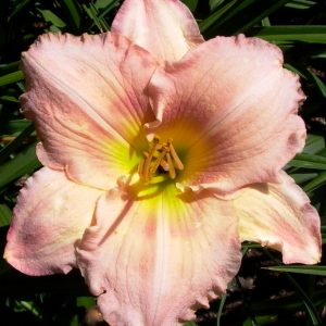 Corinthian Pink