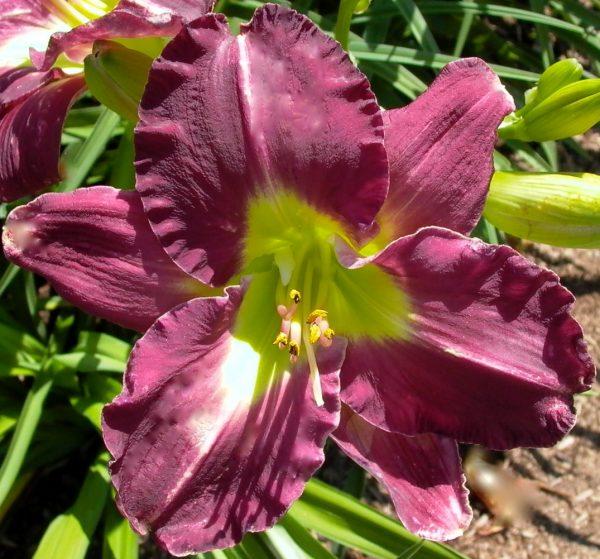 Purple Petaloid