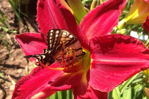 Red frilly daylily with butterfly